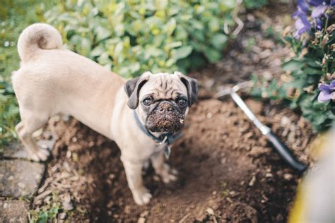 how to keep dogs from digging in flower beds 10 ways to keep dogs from destroying your flowerbeds