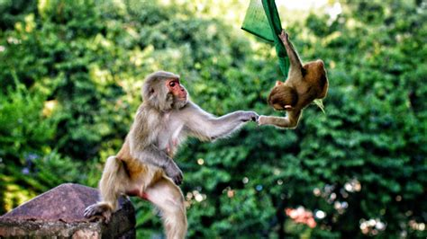 Hero4 Monkey tiere 4k tv
