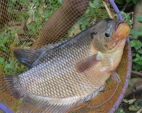 Jual Bibit Gurame Merah peluang usaha ternak ikan gurami dan analisa usahanya