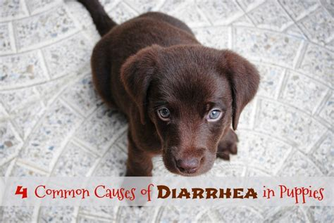 what causes puppies to diarrhea some common causes of diarrhea in puppies