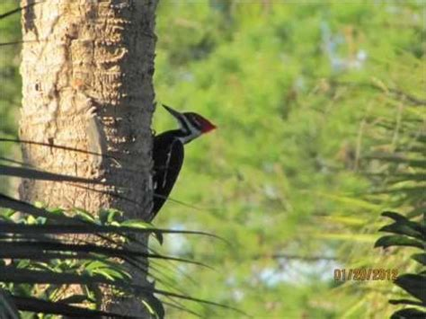 sound of a pileated woodpecker youtube