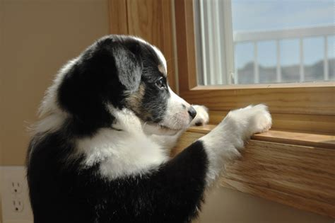 puppy anxiety separation anxiety in dogs dogtime