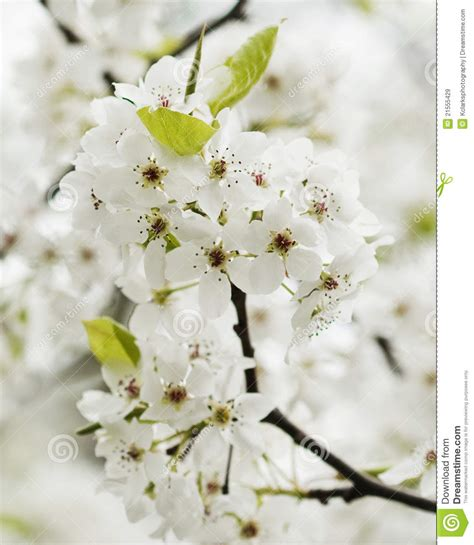 pear tree blossoms but no fruit blooming bradford pear blossoms royalty free stock