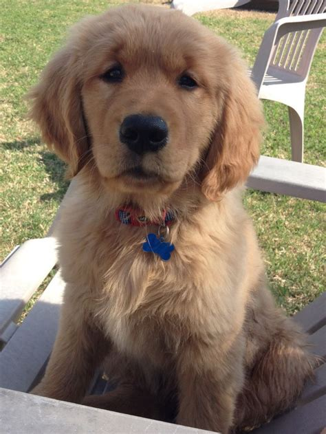 golden retriever separation anxiety 3856 best images about golden retriever on