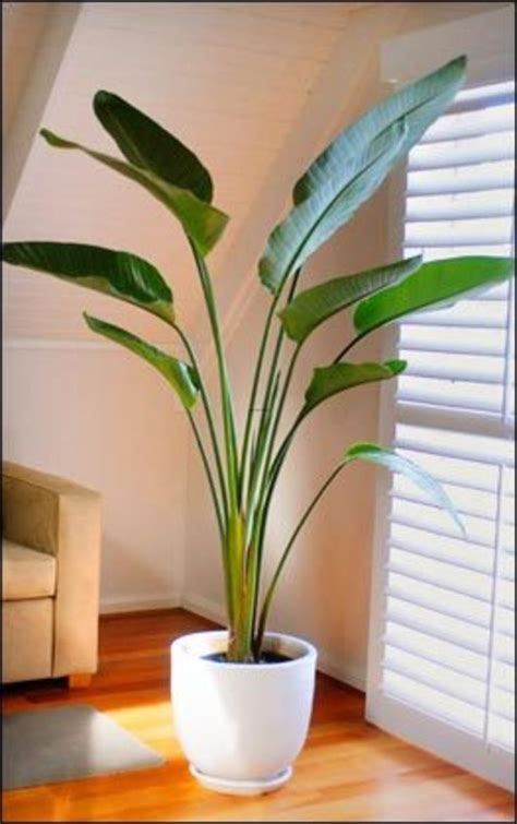 25 best ideas about large indoor plants on pinterest tall house plants low light home design ideas