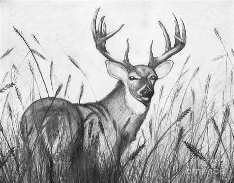 Autumn Buck Drawing by Jimmy Wood Whitetail Buck Drawings