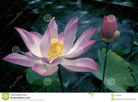 what is lotus blossom lotus blossom royalty free stock images image 17945619