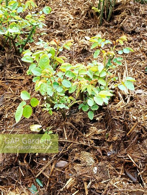 gap gardens thick mulch of stable manure used in rose beds image no 0134401 photo by