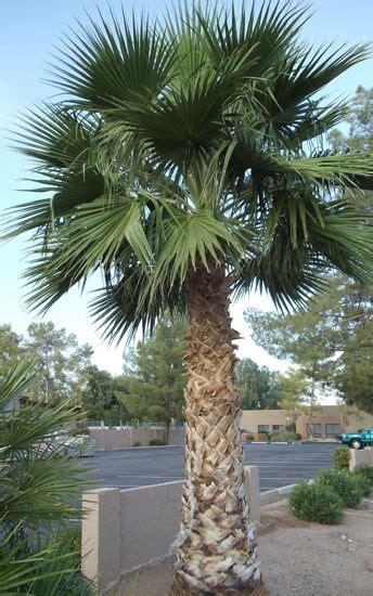 palm tree fan blades 25 best ideas about mexican fan palm on pinterest