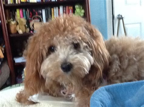 1000 images about doggy doos on pinterest poodles shih 1000 images about doggonedoodles1 on pinterest poodle