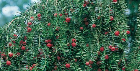 conifere da vaso conifere nane come coltivare e curarle