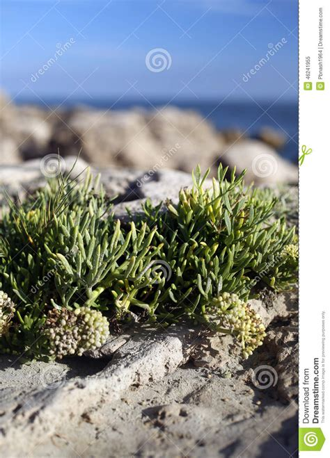 beautiful succulents by the sea stock photo image 46241955