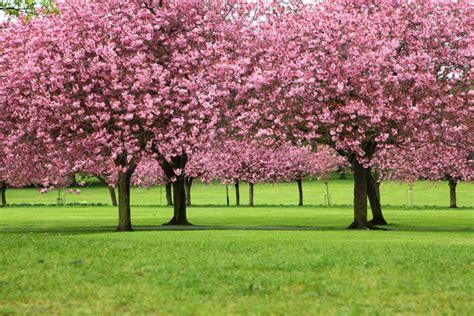 cherry trees in full bloom trees pinterest