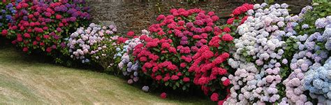 Quand Planter Les Hortensias by L Hortensia Origine Roue P 233 Pini 232 Res