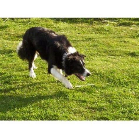 border collie puppies oregon butte ranch enterprises border collie breeder in lebanon oregon listing id 16500