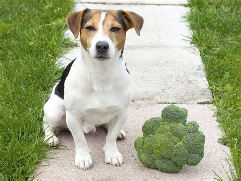 dogs eat broccoli can dogs eat broccoli organic facts