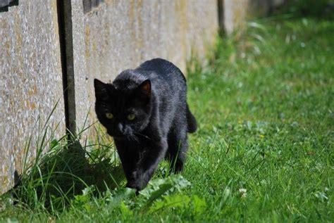 cats that look like jaguars panoramio photo of cat looks like a jaguar