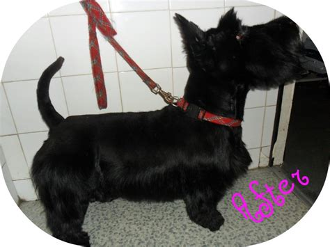 types of scottie grooming styles scottish terrier haircut styles photos hairstyle gallery