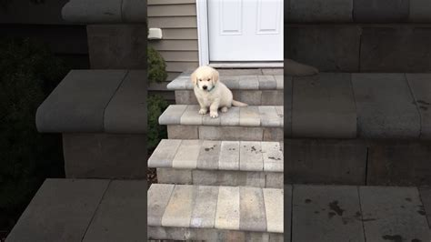 golden retriever stairs golden retriever puppy trying to go stairs puppies