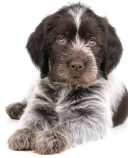 wirehaired pointing griffon puppy 33 best images about wirehaired pointing griffon on friend birthday