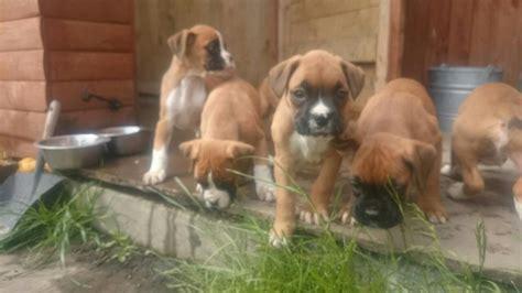 boxer puppies for sale ta boxer sale ireland boxer puppies buy buy boxer breeders boxer dogs breed boxer