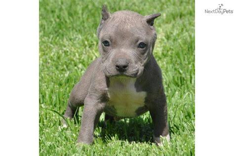miniature pitbull puppies miniature pitbull puppies breeds picture