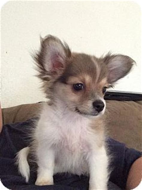puppies for adoption in nj trenton nj pomeranian chihuahua mix meet whiskey a puppy for adoption http www