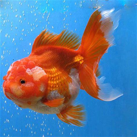 Oranda Rw Black Ranchu oranda product display goldfish jiangsu hengfeng