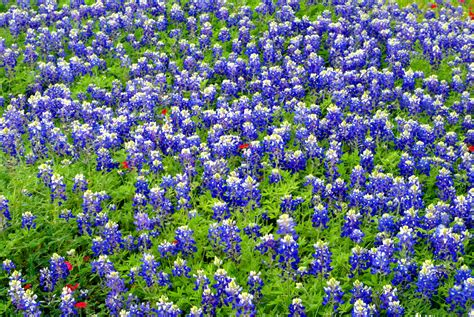 bluebonnets mike bonem