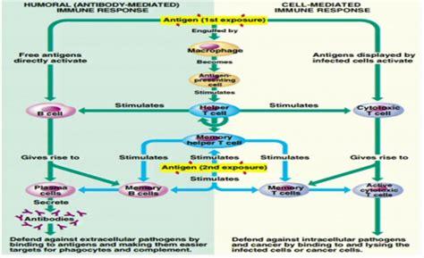 immune system flowchart 8 best images of immune response flow chart immune