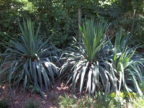garten yucca yucca plants gardens