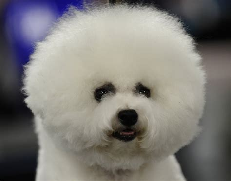 fluffy puppys fluffy breed bichon frise wallpapers and images wallpapers pictures photos