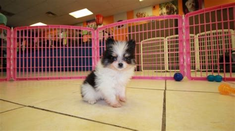 teacup pomeranian puppies for sale in atlanta ga teacup pomeranian puppies for sale in near atlanta ga at puppies for sale