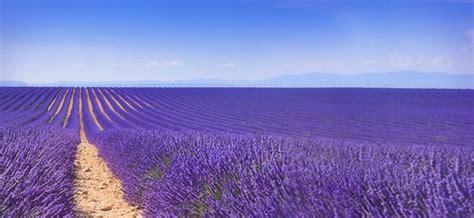 Lavendelfelder Provence by Lavendelbl 252 Te Provence Dr Schweikart