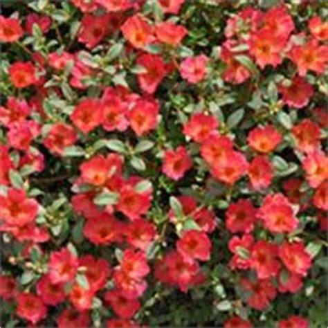 portulaca perenne piante annuali portulaca perenne