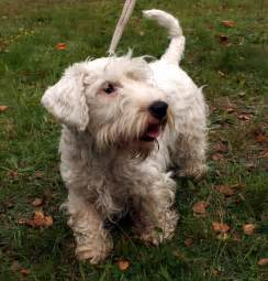 Non Shedding Dogs by Non Shedding Dogs Medium Sized Breeds Picture