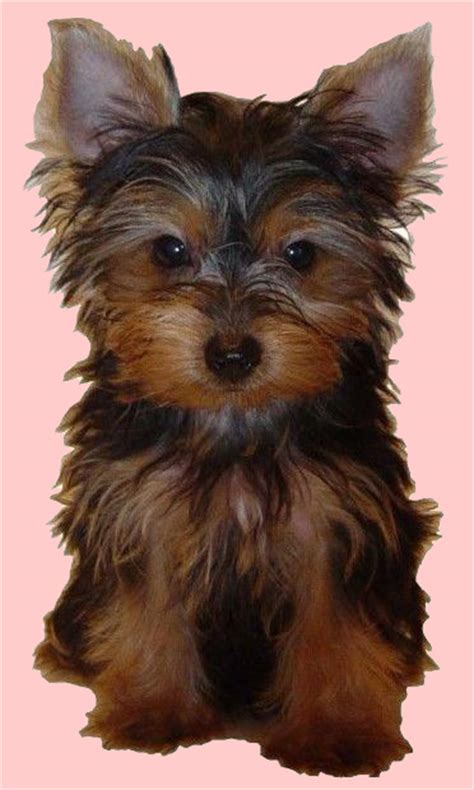 yorkie boy clothes yorkie boy clothes breeds picture
