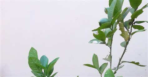 menanam lemon hidroponik tabulot tabulot jeruk nipis