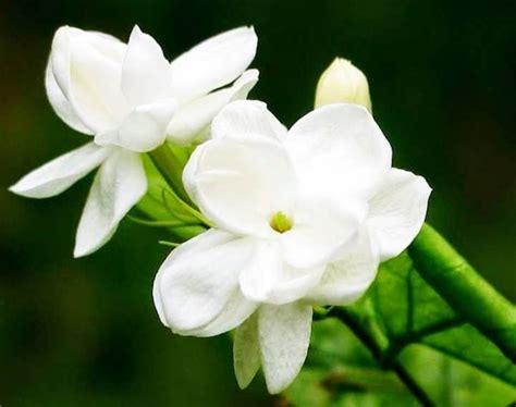 Bibit Adenium Bunga Putih macam macam tanaman hias dan harganya terbaru 2016 bibitbunga