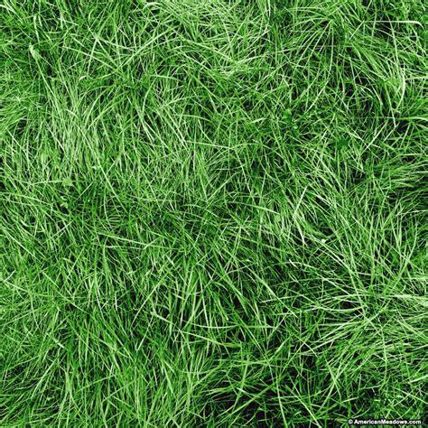chewings fescue grass seeds festuca rubra american meadows