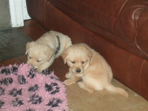 lab cross golden retriever labrador cross golden retriever puppies cairndow argyll pets4homes
