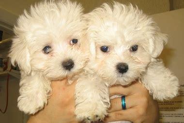 puppies danbury ct puppy in danbury ct 06811 citysearch