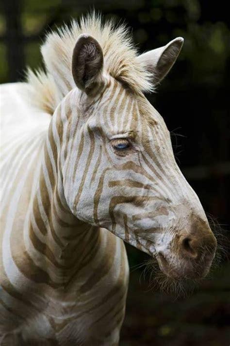 beyaz zebra resim wallpaper guezel resimler manzara