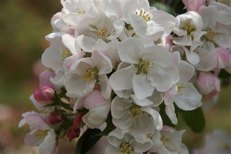 fiori di bach cherry plum cherry plum naturopataonline