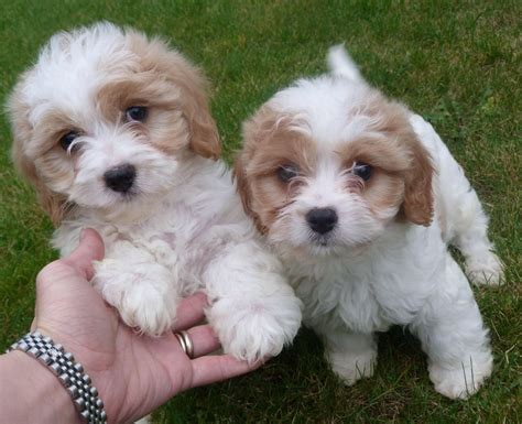 cavachon rescue dogs stunning f1 cavachon puppies manchester greater