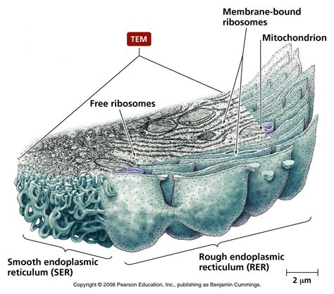 rough layout definition what is the function of rough endoplasmic reticulum of a