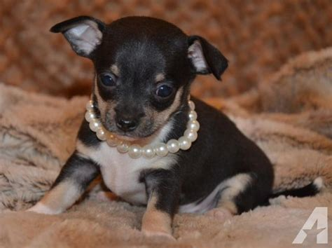 chihuahua puppies for sale in alabama tiny teacup chihuahua puppy for sale in arab alabama classified americanlisted