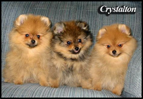 pomeranian rescue canada pomeranian breeders canada s guide to dogs breeds