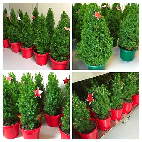merlino s christmas trees
