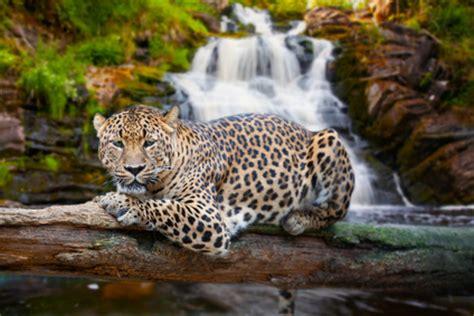 Imagenes Del Jaguar En Su Habitat | chilim balam anuncia una iniciativa para la conservaci 243 n